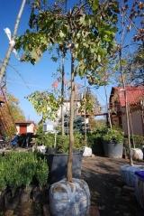 Вяз плакучий Кампердауни 20 октября начало пересадок, одновременно с началом сброса листьев