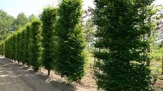 Граб обыкновенный пестролистый <br>Граб звичайний строкатолистий<br>Carpinus betulus variegata