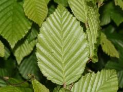 Граб обыкновенный колоновидный листья