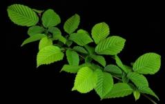 Carpinus betulus Pendula - привитая форма