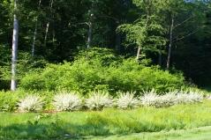 Salix integra 'Hakuro-Nishiki' посадка