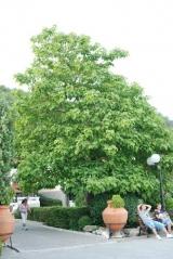 Катальпа бигнониевидная (Сиренелистная)