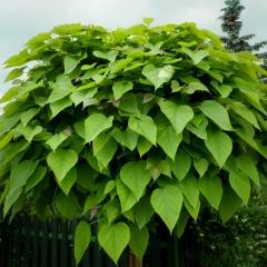 Катальпа бигнониевидная 'Нана' листья