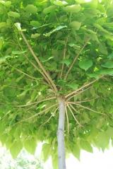 Катальпа шаровидная - лучшее место для гнезда