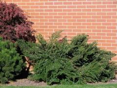 Кизильник горизонтальный - питомник декоративных растений