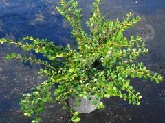 Cotoneaster horizontalis - Кизильник горизонтальный