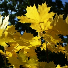 Клён остролистный Друммонди осенью