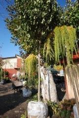 Клён остролистный шаровидный Глобозум 20 октября начало сброса листьев и пересадки.