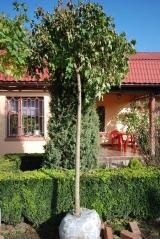 Клён шаровидный Глобозум 20 октября начало сброса листьев и пересадки.