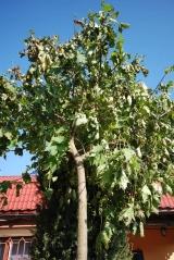Клён шаровидный Глобозум 20 октября начало сброса листьев и пересадок с комои