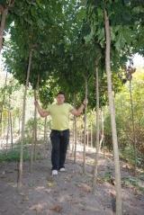 Клен 'Глобозум' привитая форма дерева