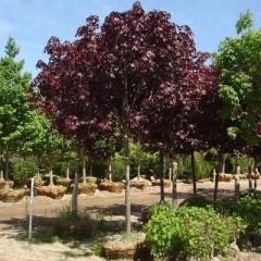 Клен остролистный 'Роял Ред' <br>Клен гостролистий 'Роял Ред'<br>Acer platanoides 'Royal Red'
