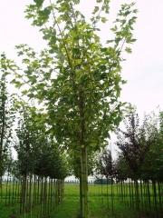 Клен ложноплатановый (Явор белый) 'Леопольди' <br>Клен псевдоплатановий (Явір білий) 'Леопольді'<br>Acer pseudoplatanus 'Leopoldii'