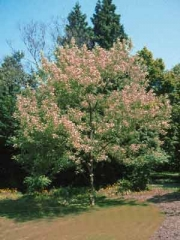 Клён ясенелистый американский 'Фламинго'