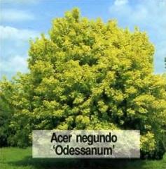 Клен ясенелистий (американський) 'Одессанум'
