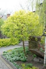 Клен 'Одессанум' деревья для ландшафтного дизайна
