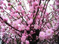 Prunus triloba - питомник декоративных растений в Киеве
