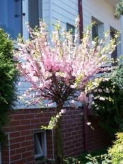 Миндаль трёхлопастной Плена <br>Мигдаль трилопастний Плена <br>Prunus triloba Plena