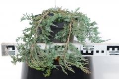 Можжевельник горизонтальный Wiltonii 3 года