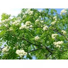 Рябина обыкновенная Плакучая цветы