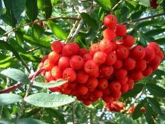 Sorbus aucuparia Pendula плоды