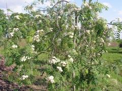 Sorbus aucuparia дерево