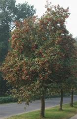 Рябина промежуточная (шведская или скандинавская) <br>Горобина середня (шведська, скандинавська)<br>Sorbus intermedia