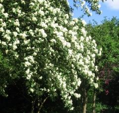 Рябина промежуточная цветение