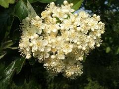 Рябина промежуточная цветы