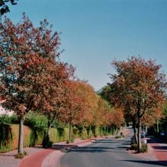 Sorbus intermedia аллейные посадки