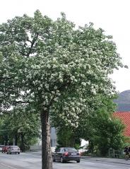 Рябина шведская или скандинавская фото