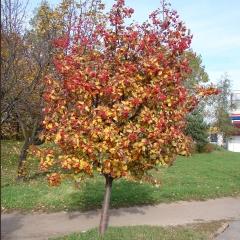 Sorbus intermedia осенью