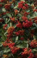 Sorbus intermedia плоды