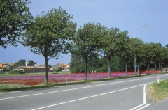 Sorbus intermedia  посадка