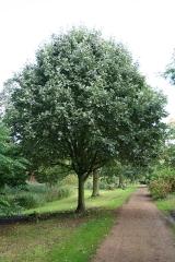 Sorbus intermedia саженцы рябины