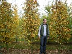 Sorbus thurigiaca