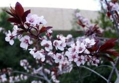 Слива растопыренная 'Pissardii' - саженцы привитых декоративных растений
