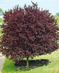 Prunus cerasifera 'Pissardii' фото