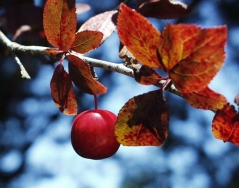 Слива растопыренная Писсарди осенью