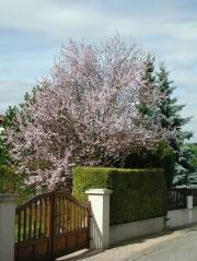 Слива растопыренная 'Вуди' <br>Слива розпластана 'Вуді'<br>Prunus cerasifera 'Woodii'