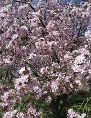 Prunus cerasifera 'Woodii'