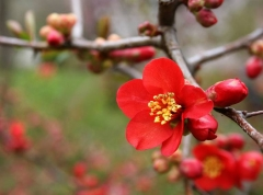 Хеномелес (Лимонник японський)