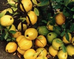 Хеномелес (Айва, лимонник японский) - купить саженцы в Киеве