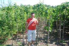 Шелковица плакучая Pendula молодые привитые растения