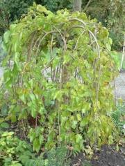Шелковица белая плакучая pendula