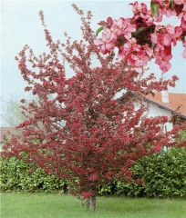 Яблоня декоративная краснолистая привитая форма