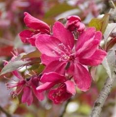 Яблоня декоративная 'Royalty'
