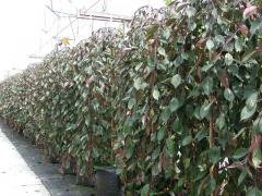 Яблоня декоративная Плакучая<br>Яблуня декоративна Плакуча<br>Malus domestica Pendula