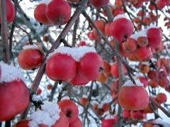 Яблуня райська плакуча