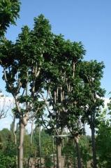 Ясень обыкновенный Криспа <br>Ясен звичайний Кріспа<br>Fraxinus excelsior Crispa